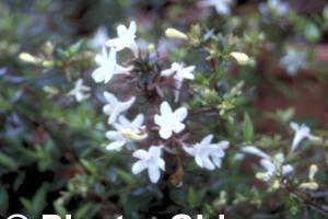 Abelia grandiflora 'Prostrata'