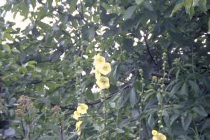 Alcea ficifolia 'Geel'
