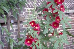 Alcea ficifolia 'Rood'