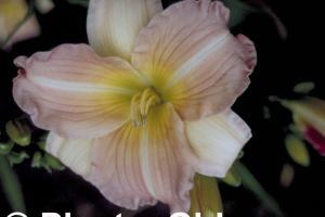 Hemerocallis 'China Bride'
