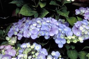 Hydrangea macrophylla 'Blauling'