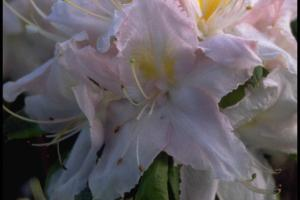 Rhododendron 'Apple Blossom'