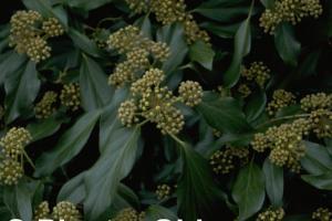 Hedera colchica 'Arborescens'