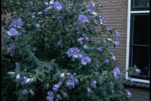 Hibiscus syriacus 'Oiseau Bleu'