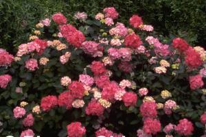 Hydrangea 'Preziosa'