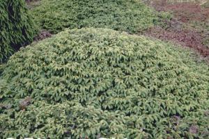 Picea abies 'Repens'