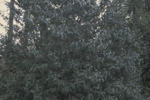 Prunus lusitanica