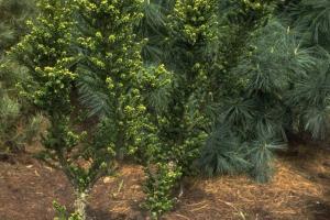 Taxus baccata 'Amersfoort'
