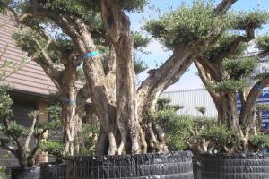 Reuze bonsai olijfboom