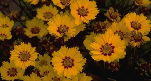 Coreopsis lanceolata 'Walter'