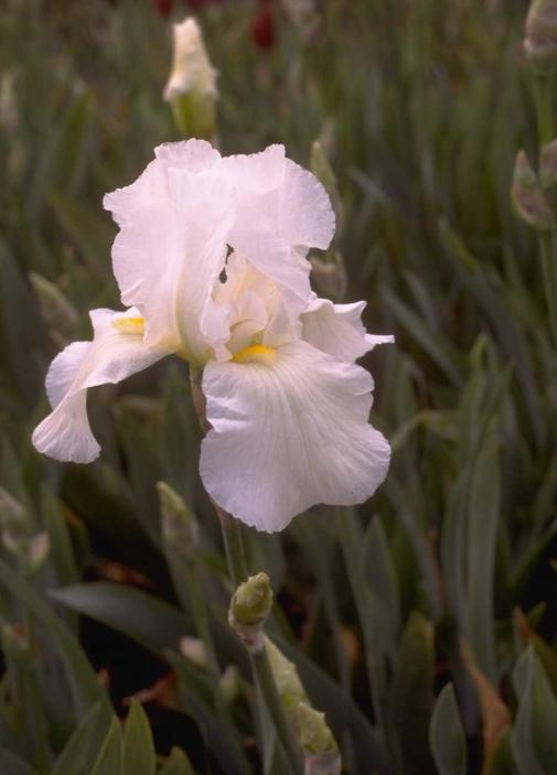 Iris 'Cliffs of Dover'