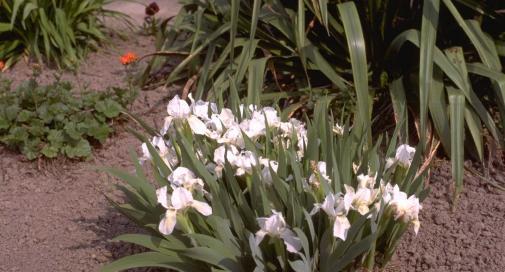 Iris 'Die Braut'