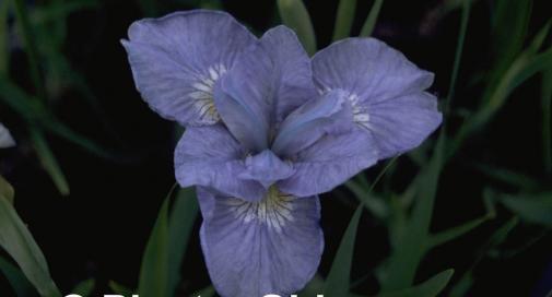 Iris 'Dear Delight'
