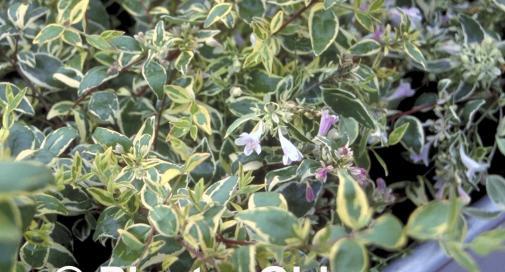 Abelia grandiflora 'Hopley's'