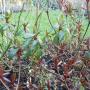 voorgrond rode blad, achtergrond groen blad