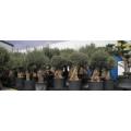 Dimatrading BVBA Groot- en kleinhandel in olijfbomen en fiberstone potten